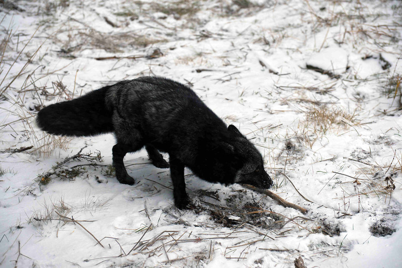 black fox  tracking his lunch