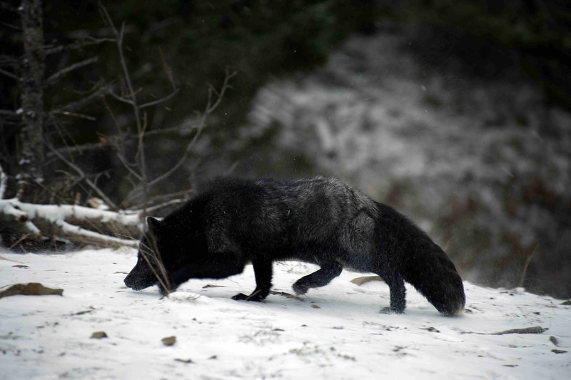 black fox looking for food
