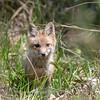 Baby Fox 9 May 2018-3429