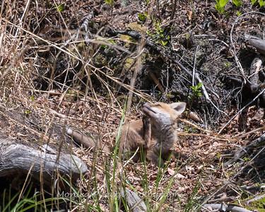 Baby Fox 9 May 2018-3502