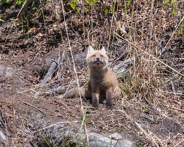 Baby Fox 9 May 2018-3468