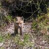 Baby Fox 9 May 2018-3381