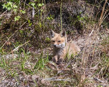 Baby Fox 9 May 2018-3395