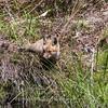 Baby Fox 9 May 2018-3409