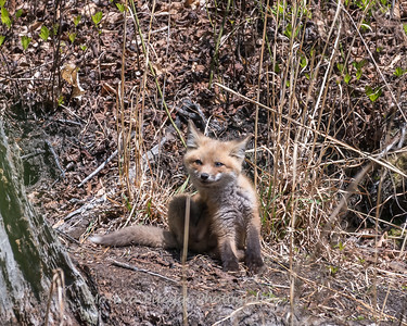 Baby Fox 9 May 2018-3495