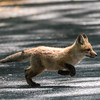 Baby Fox 9 May 2018-3442