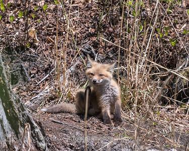 Baby Fox 9 May 2018-3496