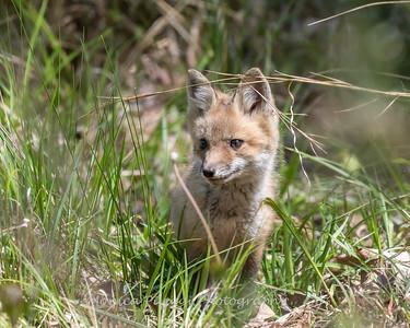 Baby Fox 9 May 2018-3425