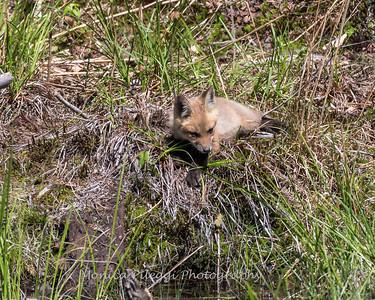 Baby Fox 9 May 2018-3405