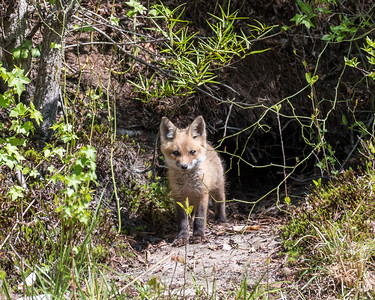 Baby Fox 9 May 2018-3365