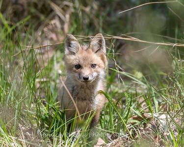 Baby Fox 9 May 2018-3434