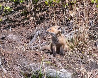 Baby Fox 9 May 2018-3471