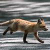 Baby Fox 9 May 2018-3443