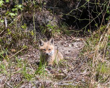 Baby Fox 9 May 2018-3384