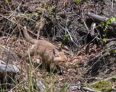 Baby Fox 9 May 2018-3497
