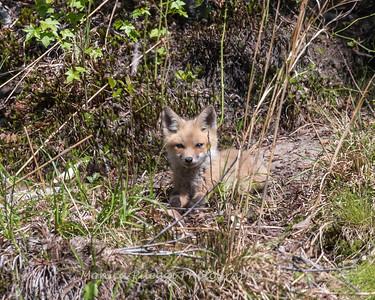 Baby Fox 9 May 2018-3399