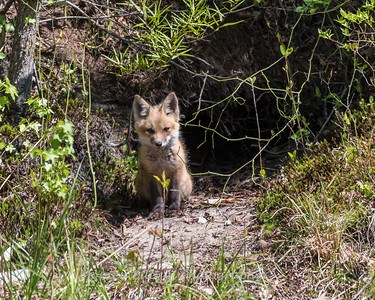 Baby Fox 9 May 2018-3377
