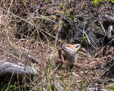 Baby Fox 9 May 2018-3503