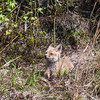 Baby Fox 9 May 2018-3387