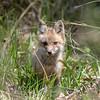 Baby Fox 9 May 2018-3420