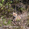 Baby Fox 9 May 2018-3390