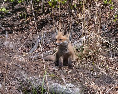 Baby Fox 9 May 2018-3490