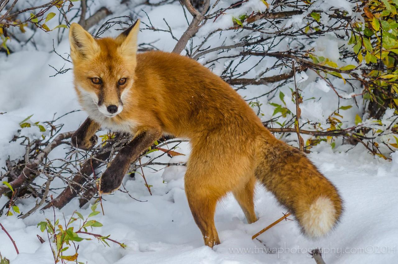 "The Red Fox ""Vogue"" Denali National Park Alaska © 2014"