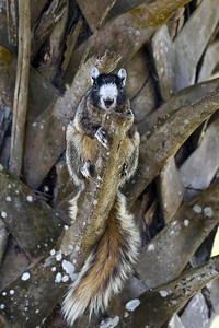 Fox Squirrel Joe Overstreet Landing, Lake Kissimmee Kenansville, Florida © 2012