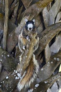 Fox Squirrel Joe Overstreet Landing, Lake Kissimmee Kenansville, Florida © 2012