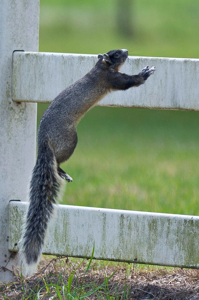 Fox Squirrel Jump Joe Overstreet Landing Kenansville, Florida © 2012