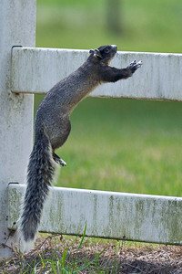 Fox Squirrel Jump Joe Overstreet Landing Kenansville, Florida © 2012