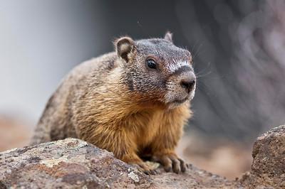 Red-Bellied Marmot Palouse Falls - Washinton State Park Palouse Region of SE Washington State © 2013