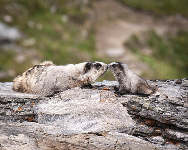 Eskimo Kisses Hoary Marmot - Mother and Young Savage River Trail, Denali National Park, Alaska © 2011