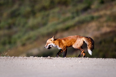 Red Fox carrying dinner back to the den Denali National Park, Polychrome Pass Alaska © 2009