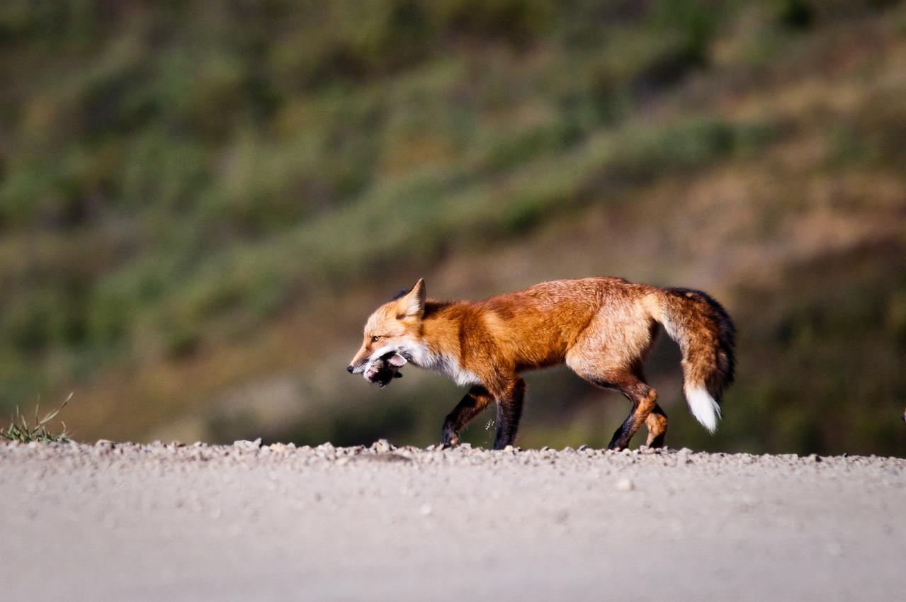 Red Fox carrying dinner back to the den Denali National Park, Polychrome Pass Alaska © 2009