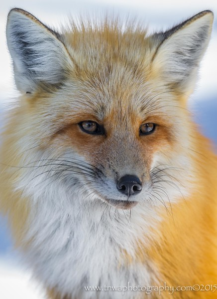 Portrait of a red fox Grand Teton National Park Wyoming © 2015  TNWA Photography / Debbie Tubridy