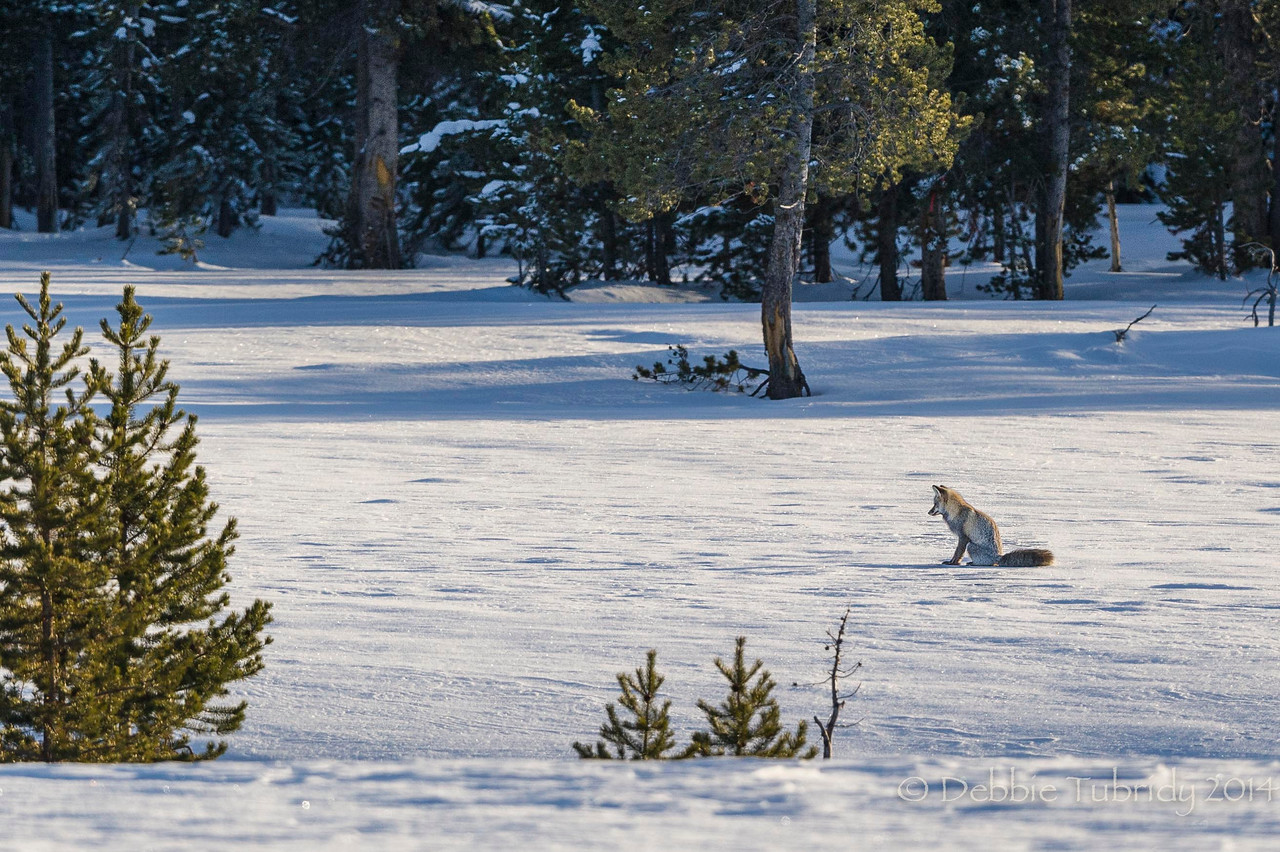 Waiting, Waiting, Waiting Red fox wait for opportunity to pounce Yellowstone National Park, Wyoming © 2014