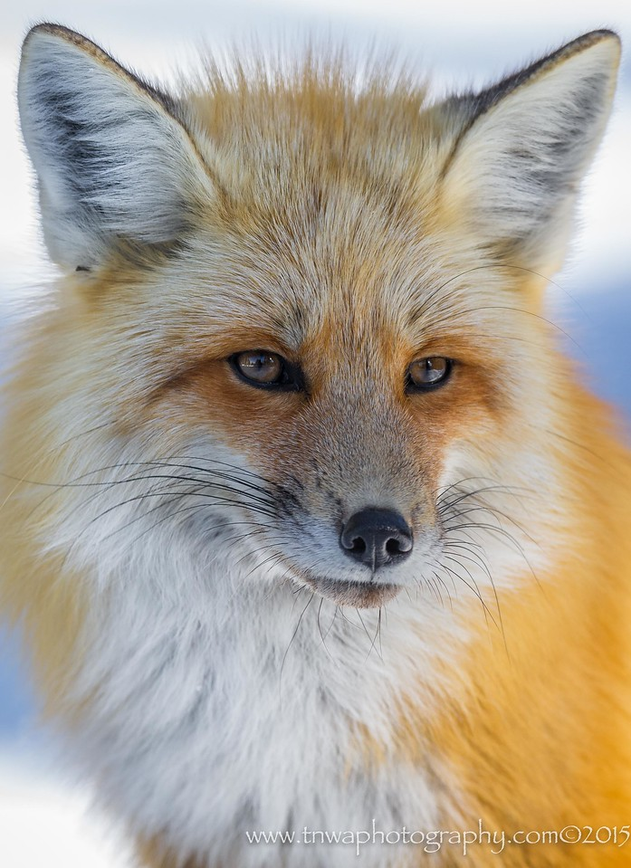 Portrait of the Red Fox Grand Teton National Park Wyoming © 2015