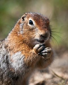 Arctic Ground Squirrel Denali National Park & Preserve Alaska © 2011