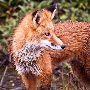 Red Fox Denali National Park & Preserve Alaska © 2009