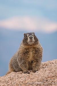 Hillside Marmot