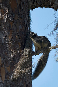 Southern Fox Squirrel Kenansville, Florida © 2012