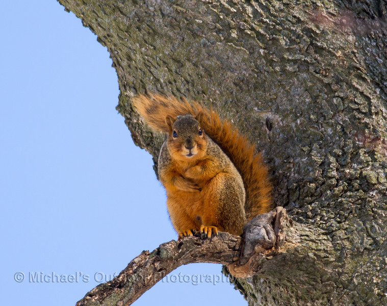 Fox Squirrel Marion county Missouri