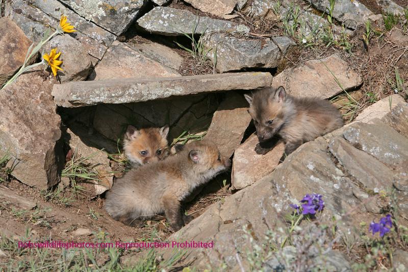 Red fox cubs in den.