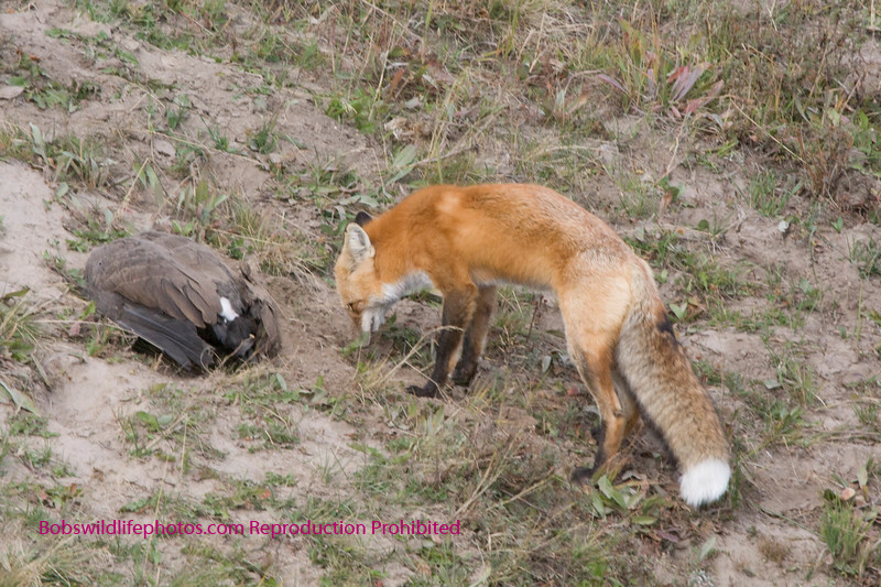 This fox in Hayden Valley had just killed this goose and was attempting to bury it with his nose. While resting a coyote came along and he left in a hurry. The coyote chased him without seeing the goose, so he may have come back for it later.