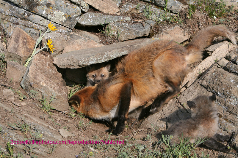 Red fox checking her babies.