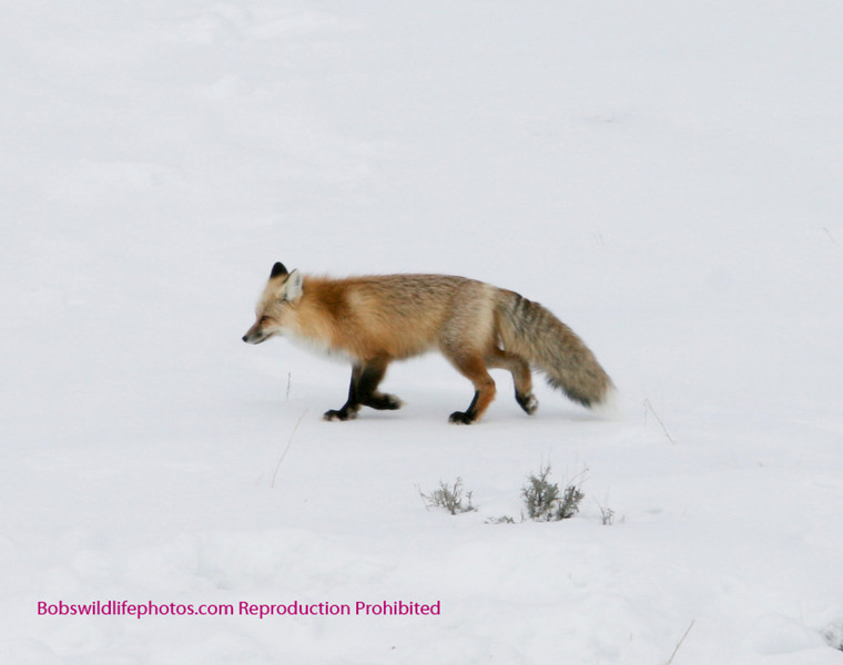 This is a cropped photo of a fox on the north side of Lamar. He was just driven off an elk kill by coyotes, who were later driven off when the wolves came back.