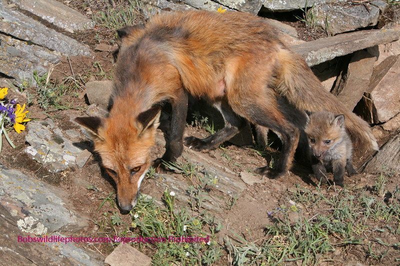 Red fox mother with one baby.