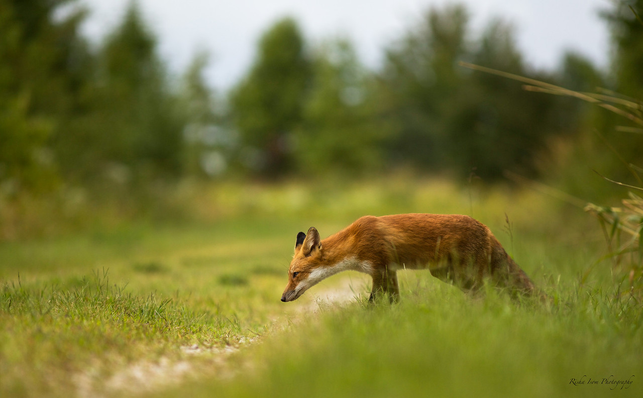 Male red fox. I miss seeing them.