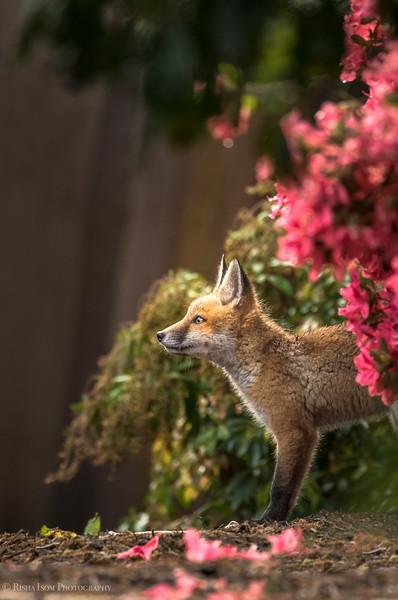 """Ahhhhh"" Red Fox Kit"